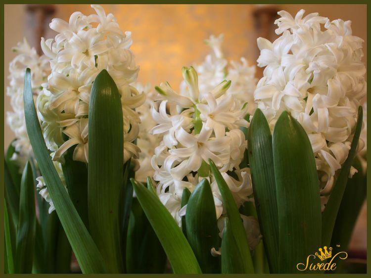 Hyacinths in cachepotlogo