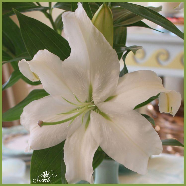 White lilylo
