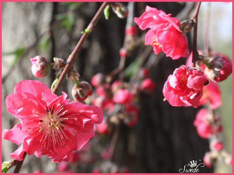 Peachflowerlo