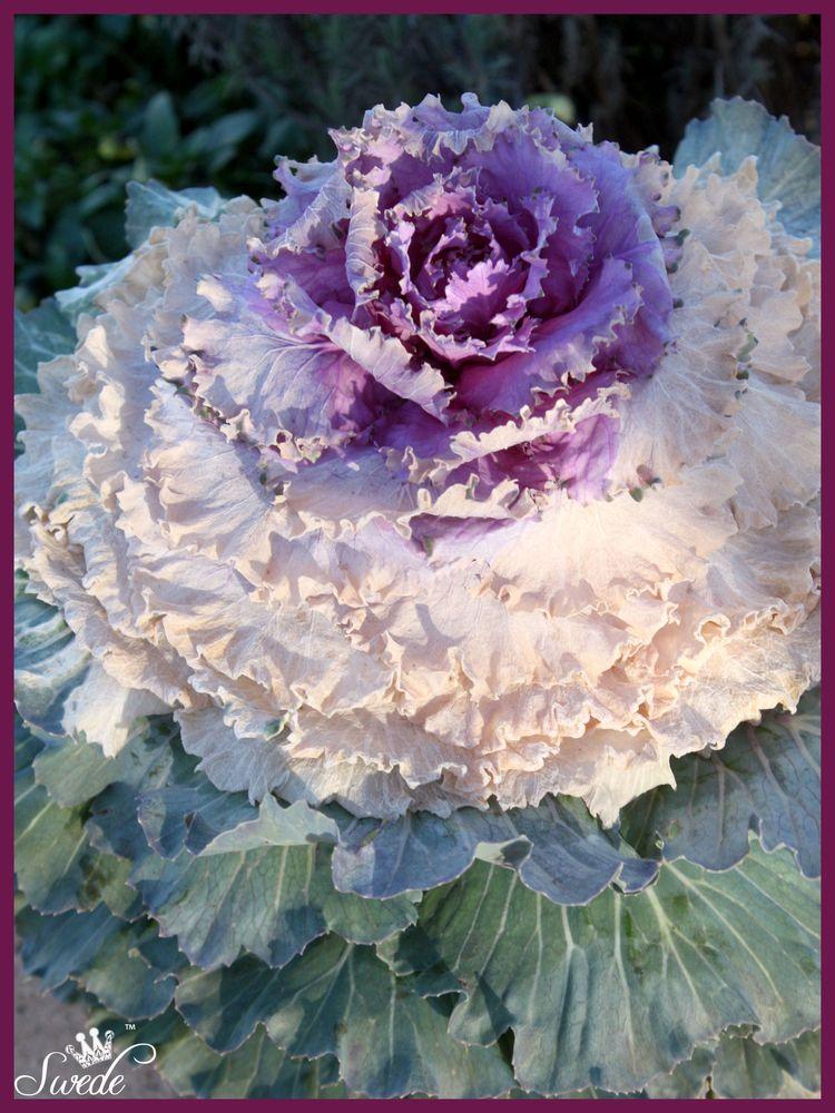 Flowering kale 4 lo