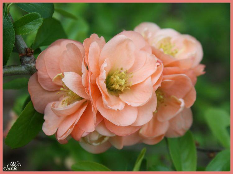 Apricot quince 4lo