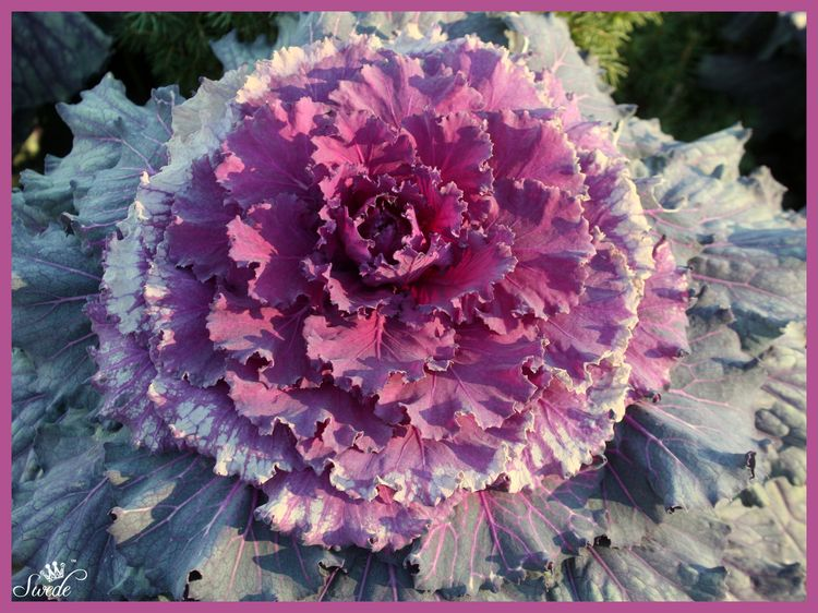 Flowering kale 3 widelo