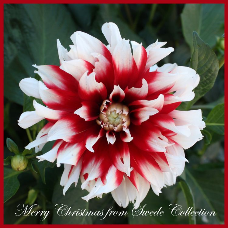 Christmas card of dahlia 2014 Swede