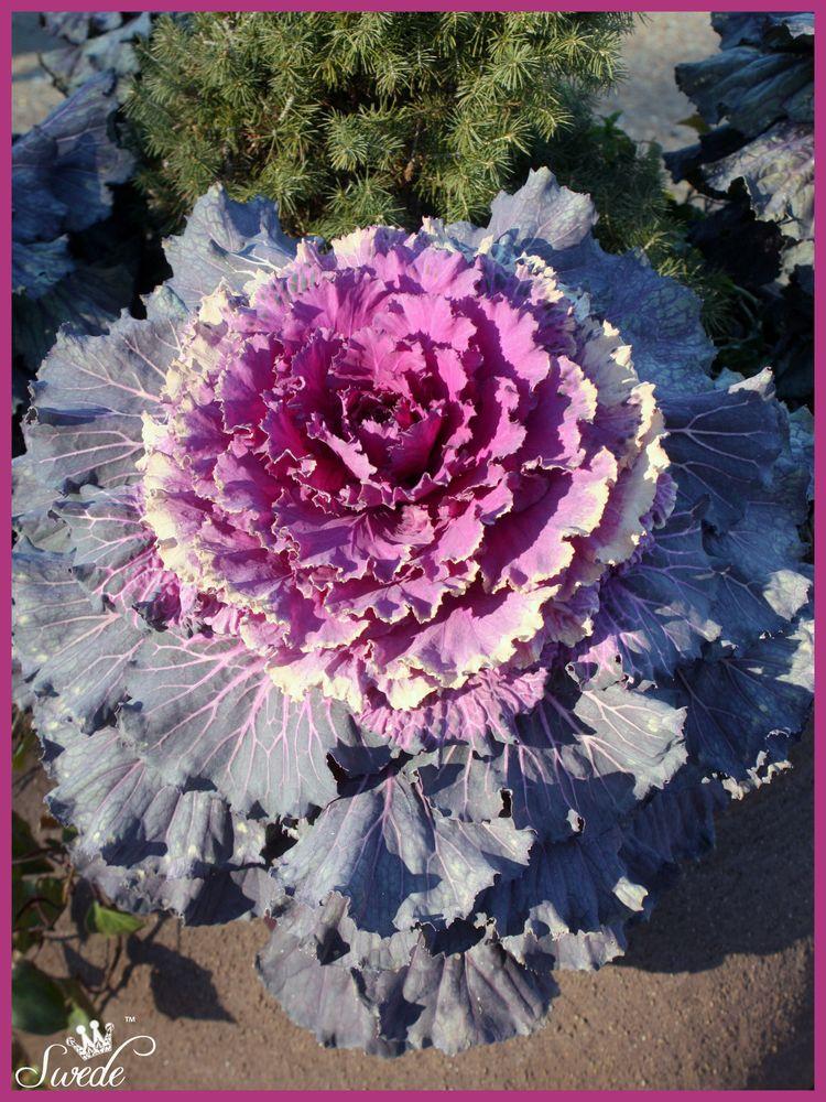 Flowering kale lo