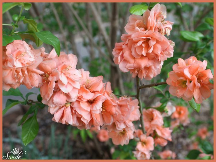Lovely quince lo